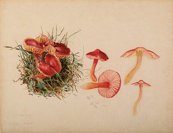 a beautiful drawing by Beatrix Potter with mycological details of fungi