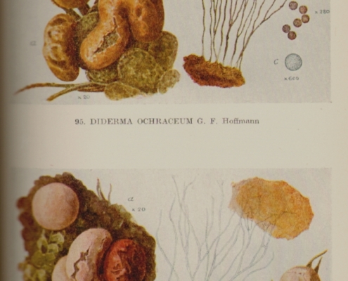 Lister 3 - illustration from her book on slime mould