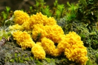 bright yellow slime mold on bark