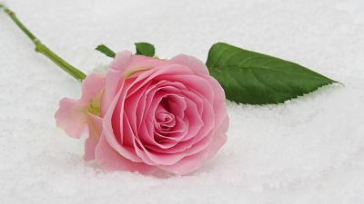 A pink rose lying in the snow