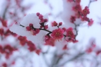 branch of cherry blossom in the snow
