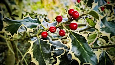 holly with berries