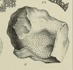 A black & white sketch of Fossil Coral