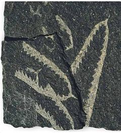 Graptolites - a fossil etched into rock