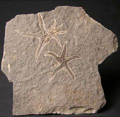 Urasterella fossil etched into a stone - little wobbly star shapes