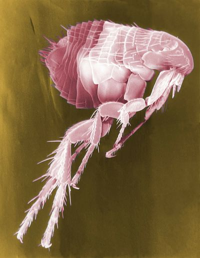 A flea coloured pink highly magnified
